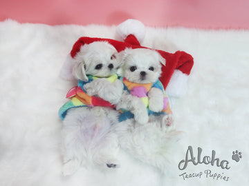 Sold to Michael, Bonnie [TEACUP MALTESE]