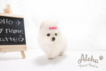 Sold to Mahsa, Latte - [Pomeranian]