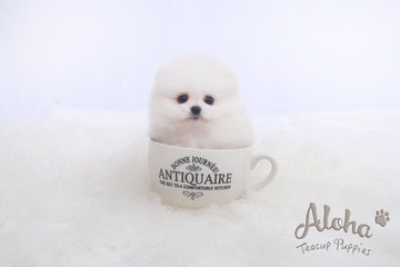 Sold to Roberto, Fiona [TEACUP POMERANIAN]