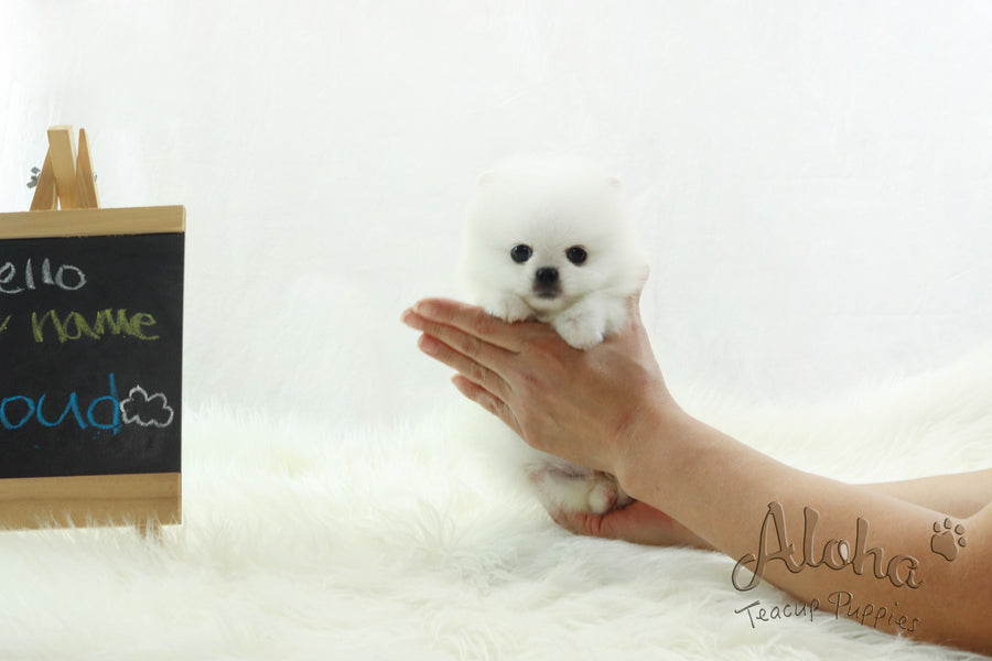Sold to Barbie, SANTA [Pomeranian]