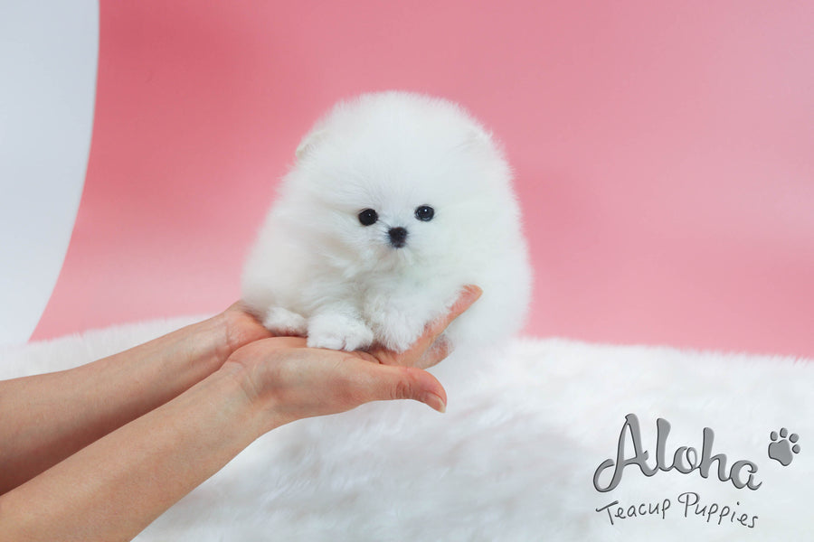 Sold to Kira, Baby [TEACUP POMERANIAN]