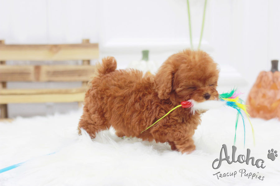 Sold to Lorraine, Champ [TEACUP POODLE]
