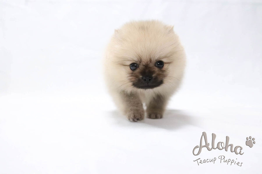 Sold to Renee, Espresso - [Pomeranian]