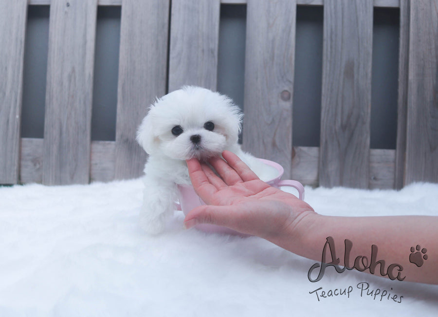 Sold to Pham, Bailey [TEACUP Maltese]
