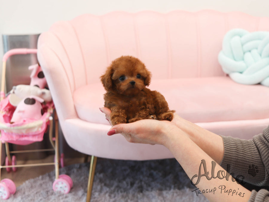 Dolly [TEACUP POODLE]