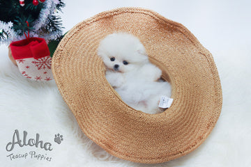 Sold to Naoko, Snow [TEACUP POMERANIAN]