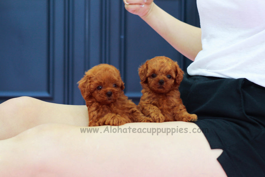 Sold to Lashawna, Teddy [Teacup Poodle]
