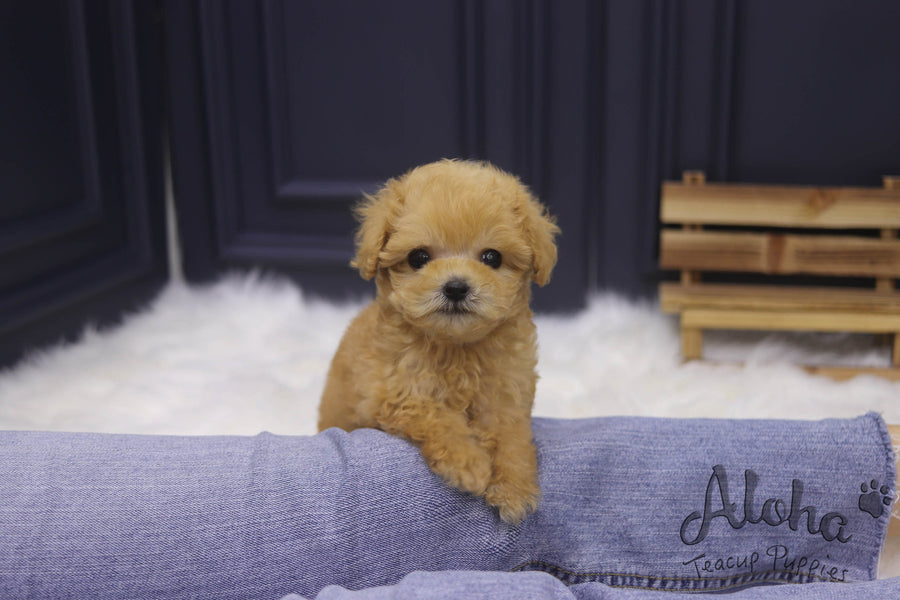 Sold to Jiaman, Morris [TEACUP MALTIPOO]