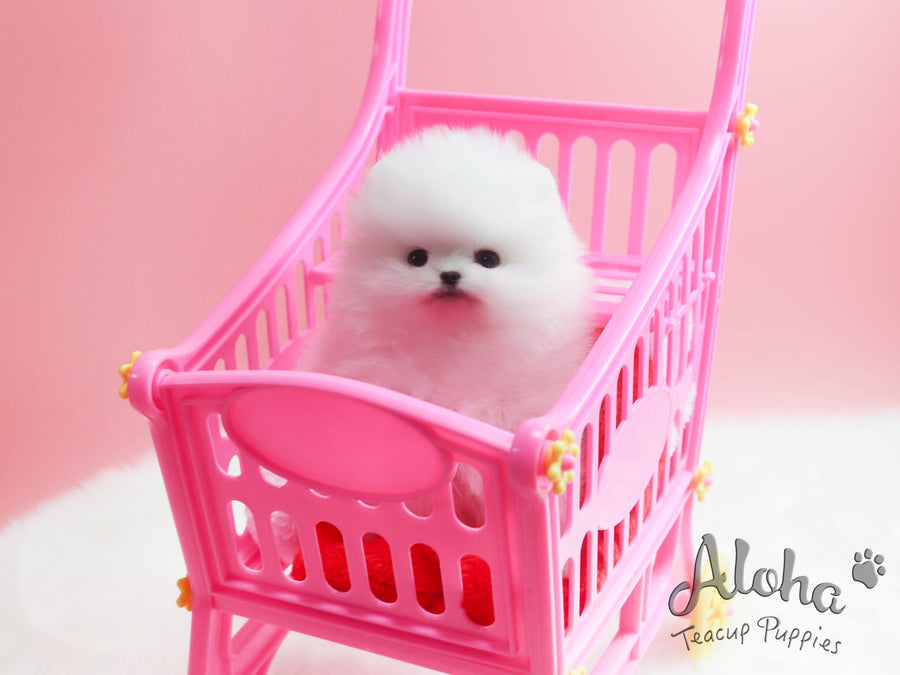 Sold to Yuri, Marshmallow [TEACUP POMERANIAN]
