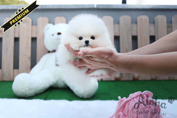 Sold to Gamez, CHANEL [TEACUP POMERANIAN]