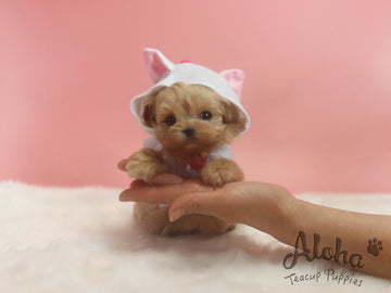 Sold to Jose, FENDI [TEACUP MALTIPOO]