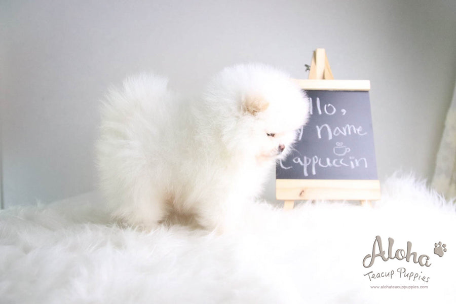 Cappuccino - [Pomeranian] - Reserved by Candide Monette