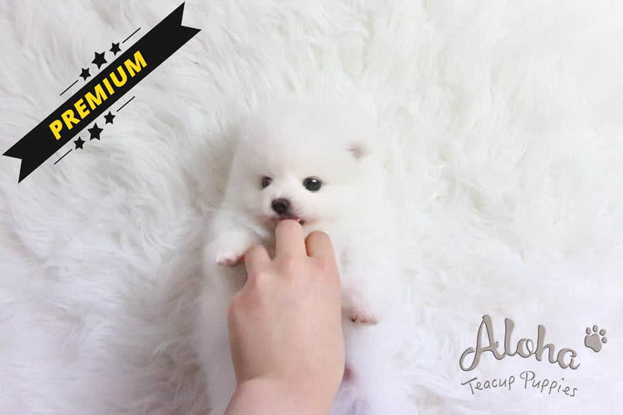 Sold to Eva, ANNA - [Teacup Pomeranian]