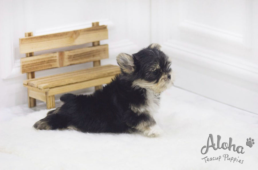 Sold to Shin, Bailey [TEACUP Morkie]