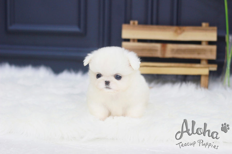 Sold to Jack, Simba [TEACUP Pekingese]