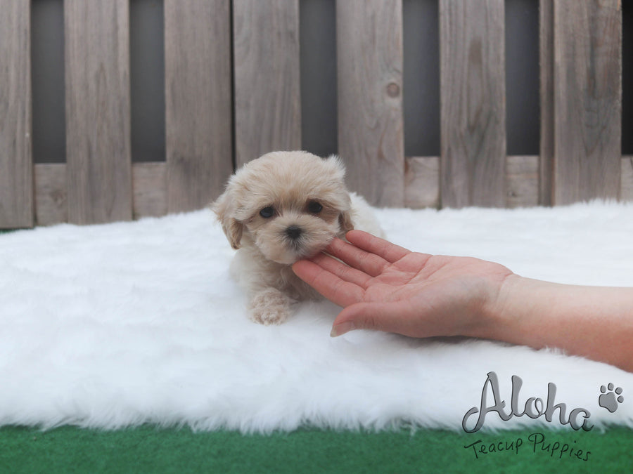 Sold to Claudia, Paw [TEACUP MALTIPOO]