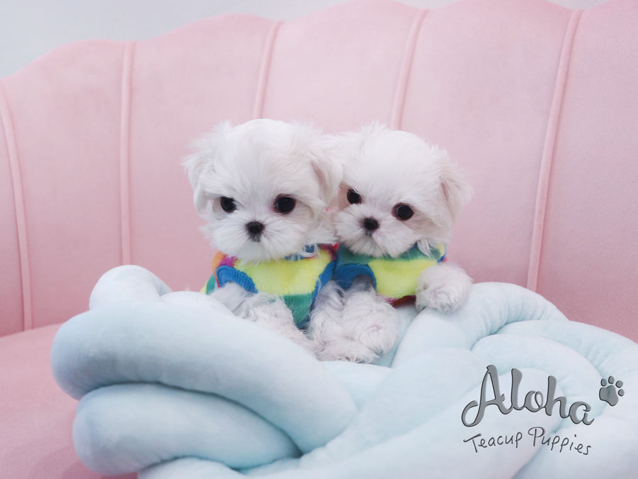 Jimmy&Choo [TEACUP Maltese]