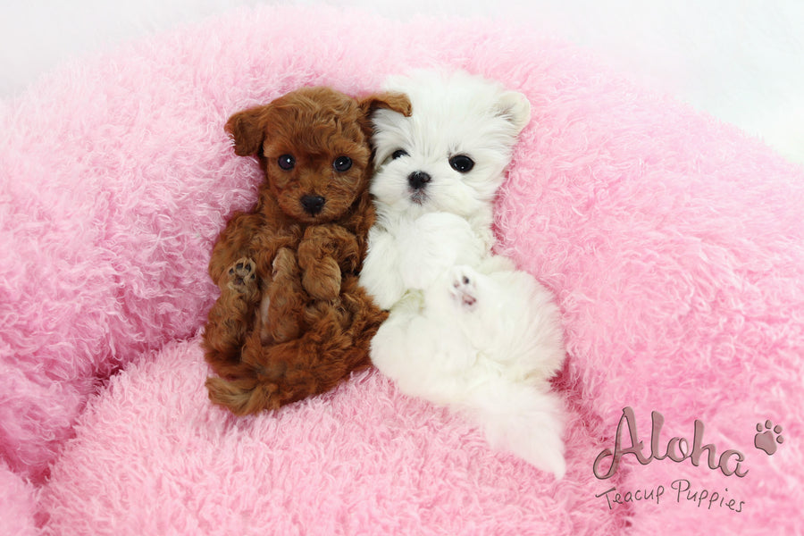 Sold to Tisha, Cappuccino [Teacup Poodle]