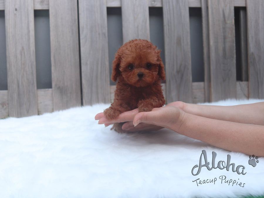 Sold to Vihita, JERRY [TEACUP POODLE]