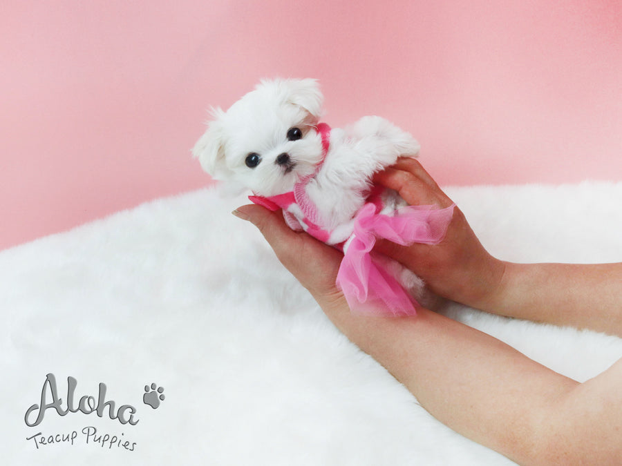Sold to Jiang, Angel [Teacup Maltese]