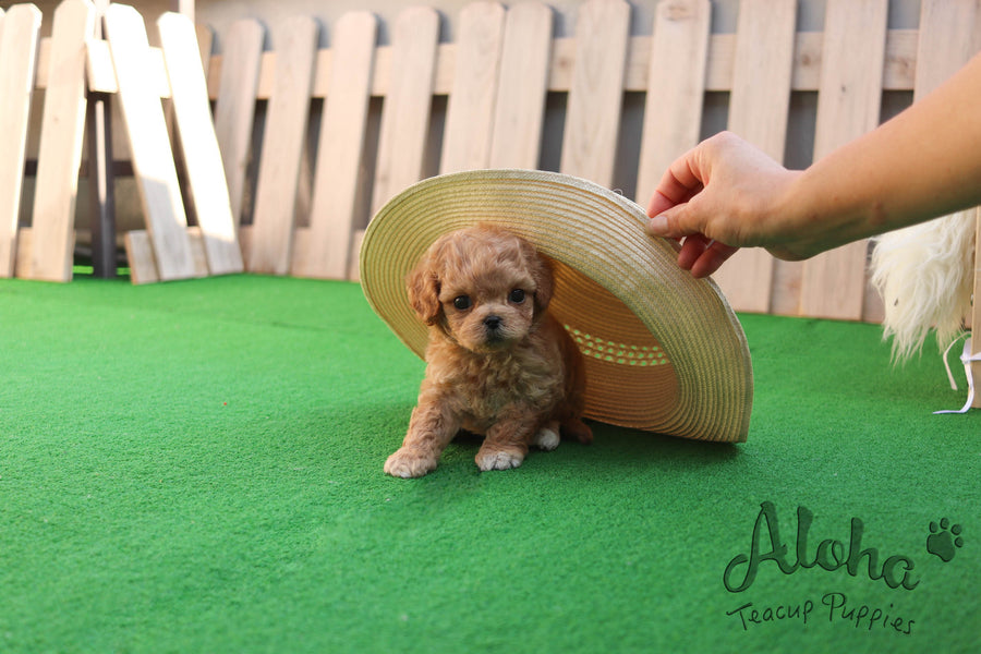 Sold to Marytes, Mocha [TEACUP MALTIPOO]