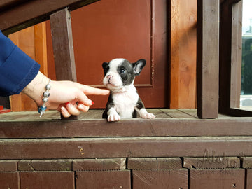Sold to Jacob, Megan [Teacup French Bulldog]