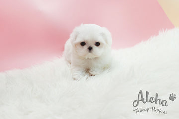 Sold to Huiling, Sophie [TEACUP MALTESE]
