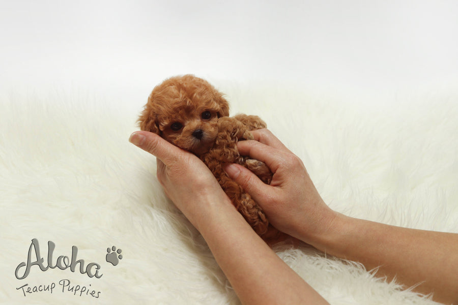 Sold to Ronel, Lizzy [TEACUP Poodle]