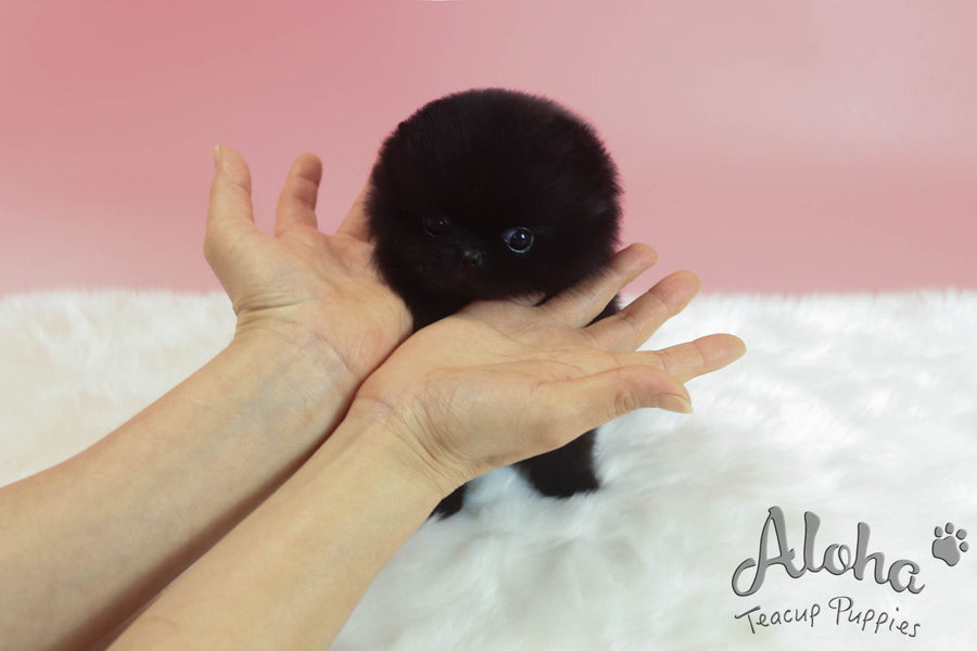 Sold to Stefan, Holly [TEACUP POMERANIAN]