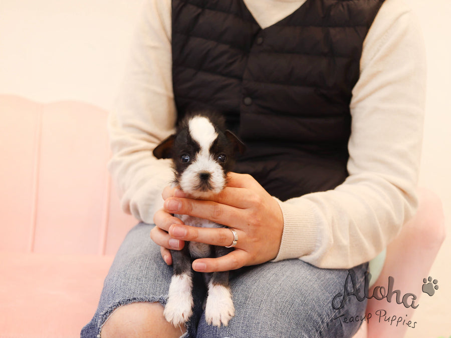 Verawang [TEACUP Chinese Crested]