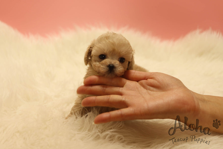 Sold to Ashley, Chewy [TEACUP MALTIPOO]
