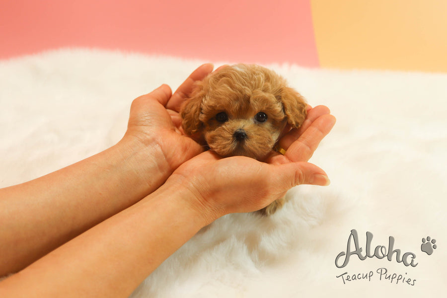Sold to Emily, Prince [TEACUP MALTIPOO]