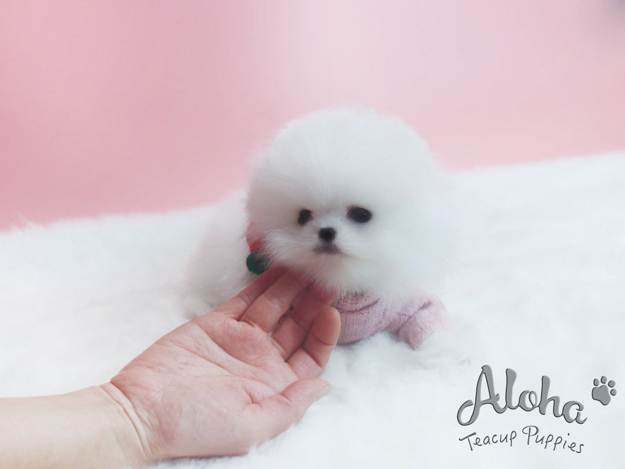 Sold to Alexandra, Princess [TEACUP POMERANIAN]
