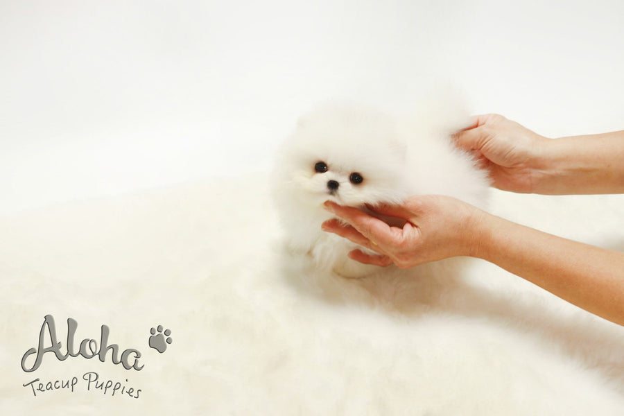 Sold to Amelia, Boo [Teacup Pomeranian]