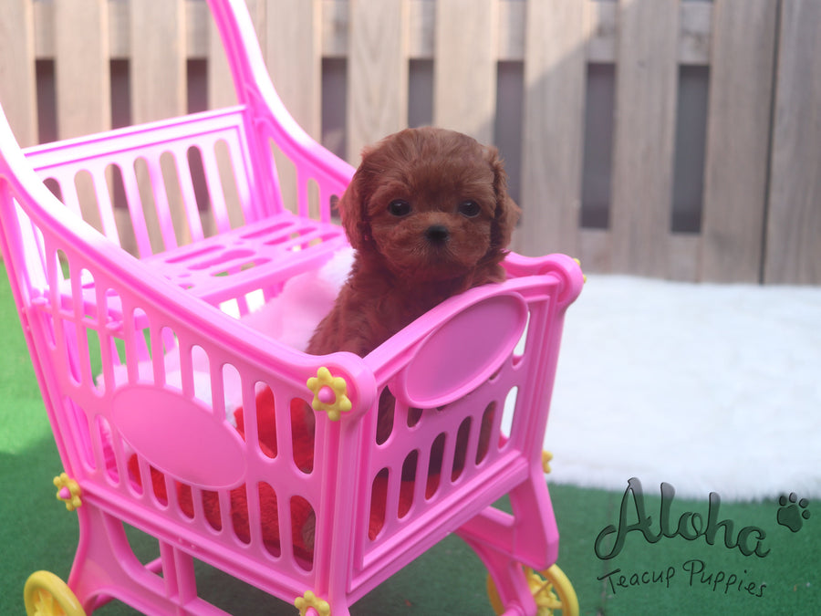 Sold to Renante, Chanel [TEACUP MALTIPOO]
