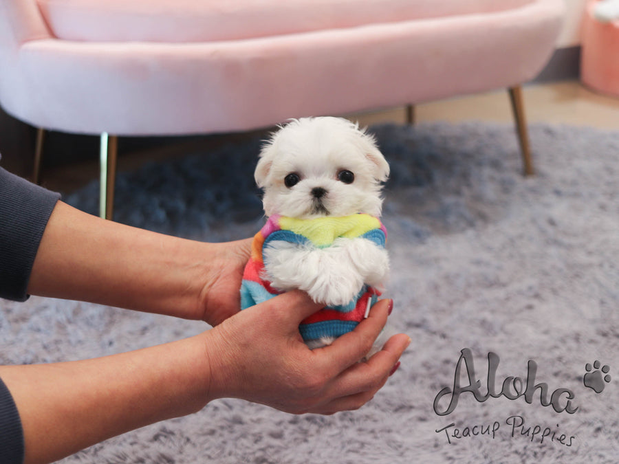 Peach [TEACUP MALTESE]