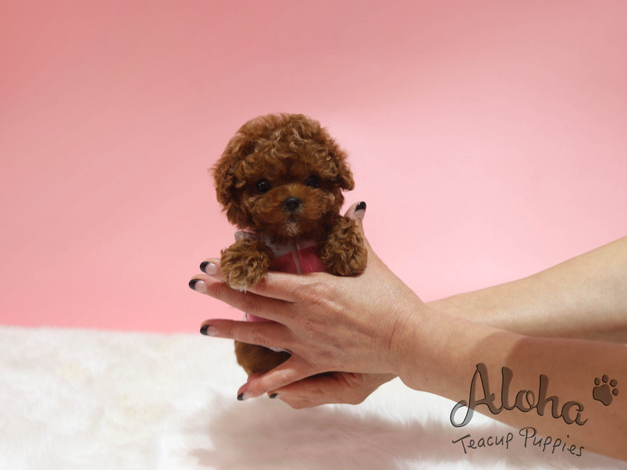 APPLE [TEACUP POODLE]