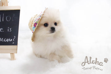 Sold to Jocelyn, ELLA - [Teacup Pomeranian]