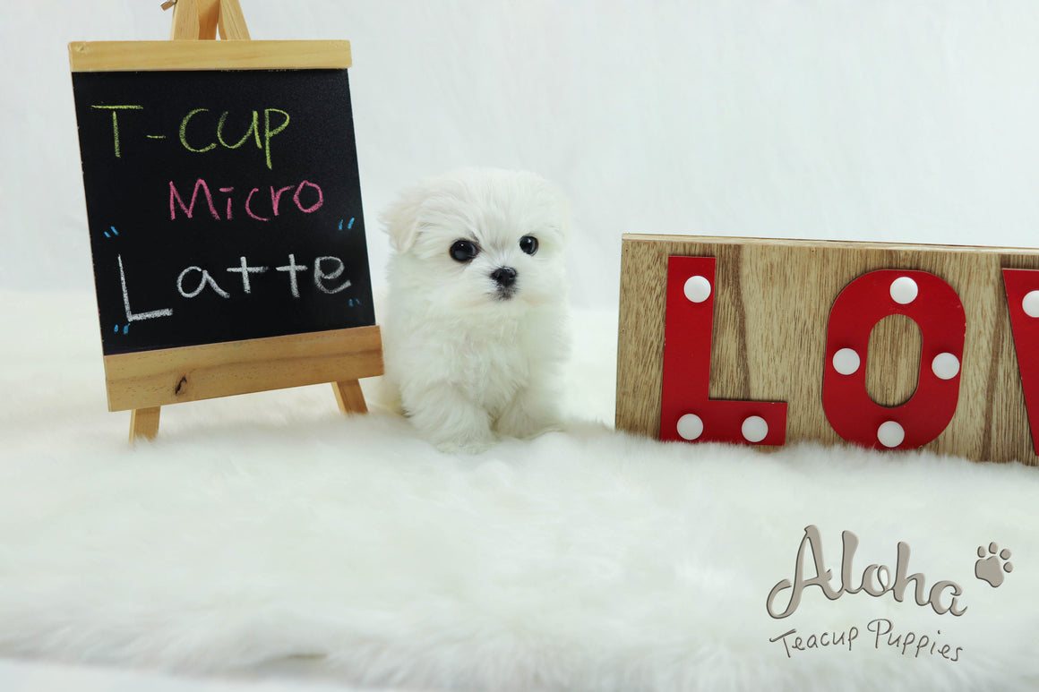 Latte [Teacup Maltese]