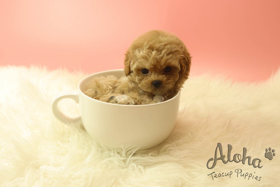 Sold to Robert, Lola [TEACUP MALTIPOO]
