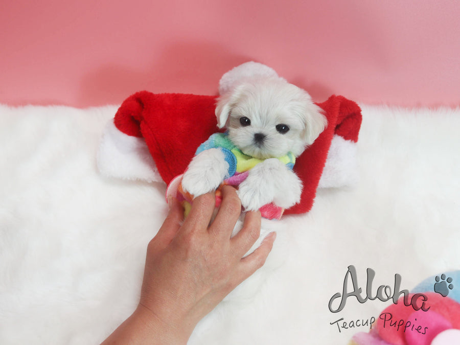 Bonnie [TEACUP MALTESE]