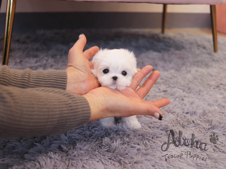 WILLY [TEACUP MALTESE]