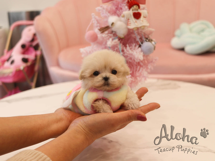 Chewy [TEACUP Maltipoo]