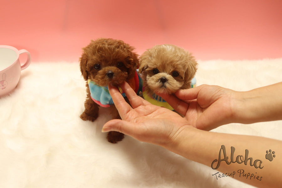 Sold to KIL JONG, Hershey [TEACUP POODLE]