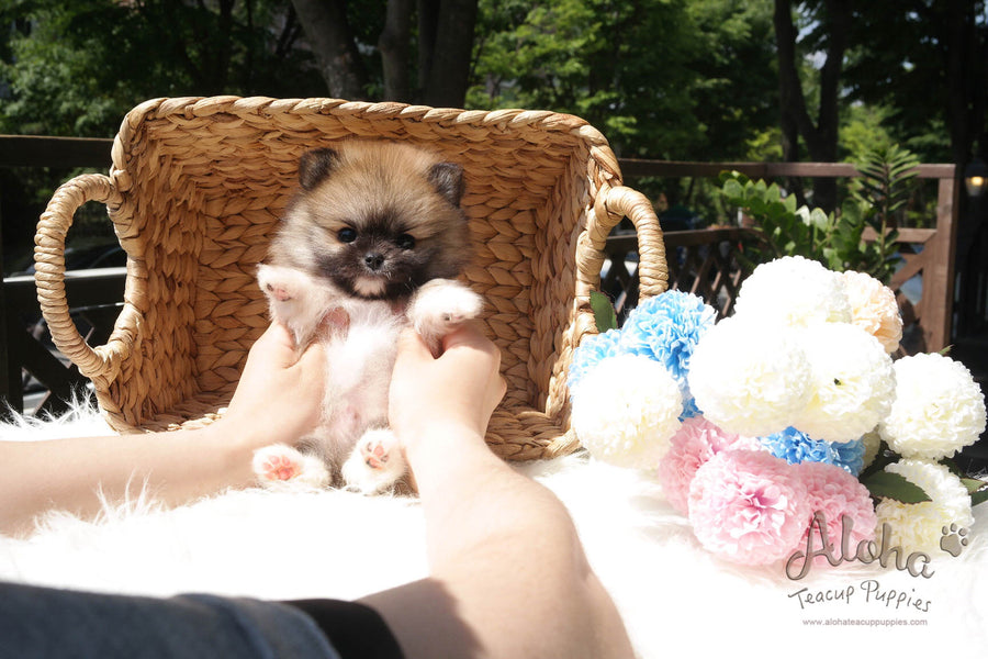 Sold to Amanda, Sandy [Teacup Pomeranian]