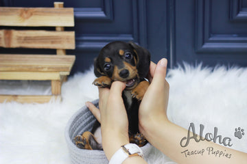 Sold to Haley, Tank [Teacup Dachshund]