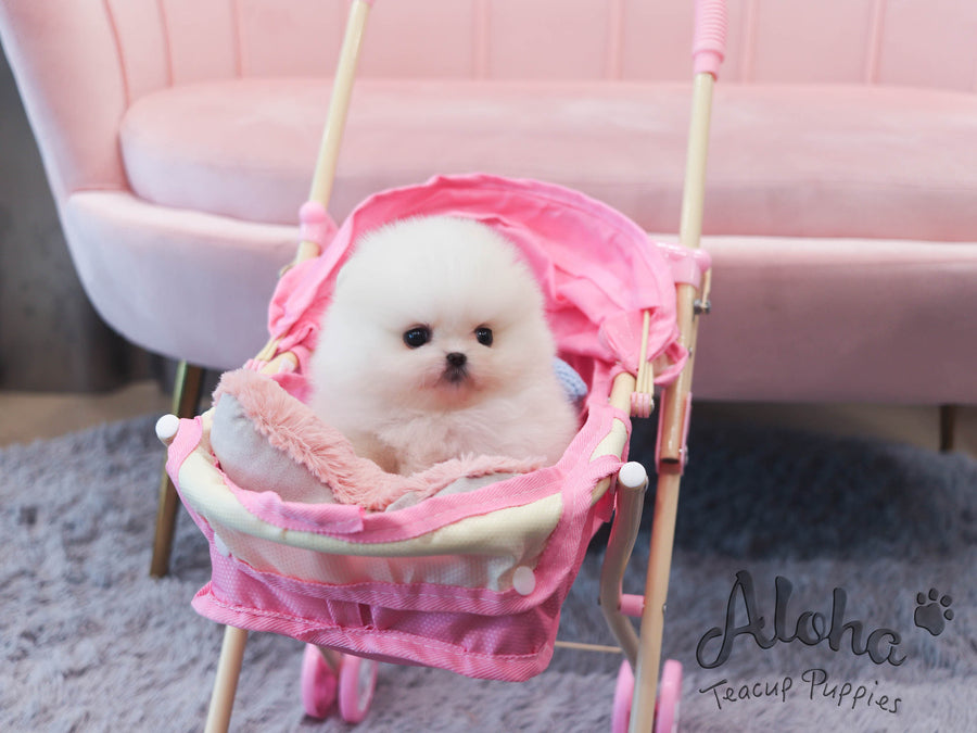 May [TEACUP POMERANIAN]