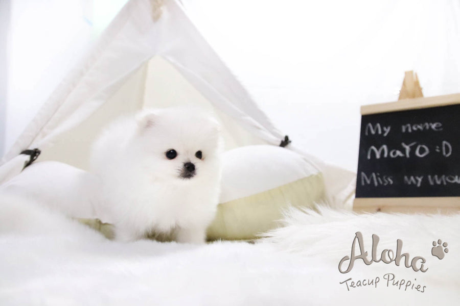 Sold to Jessica, Mayo - [Pomeranian]