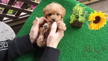 Sold to Kailie, Fluffy [TEACUP MALTIPOO]