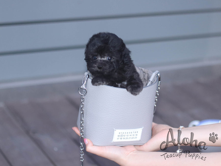 Sold to Dyandria, BIANCA [TEACUP POODLE]